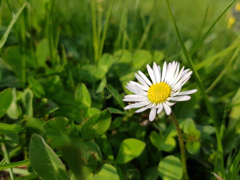 Цветок маргаритки в луге лета Красивое цветение Зеленый, свежий луг стоковая фотография rf