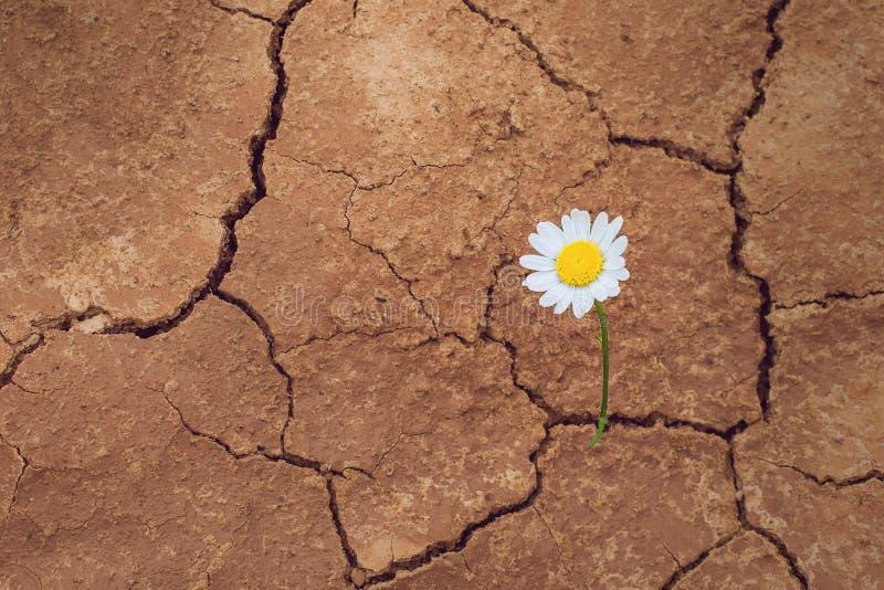 Цветок маргаритки в пустыне стоковые фотографии rf