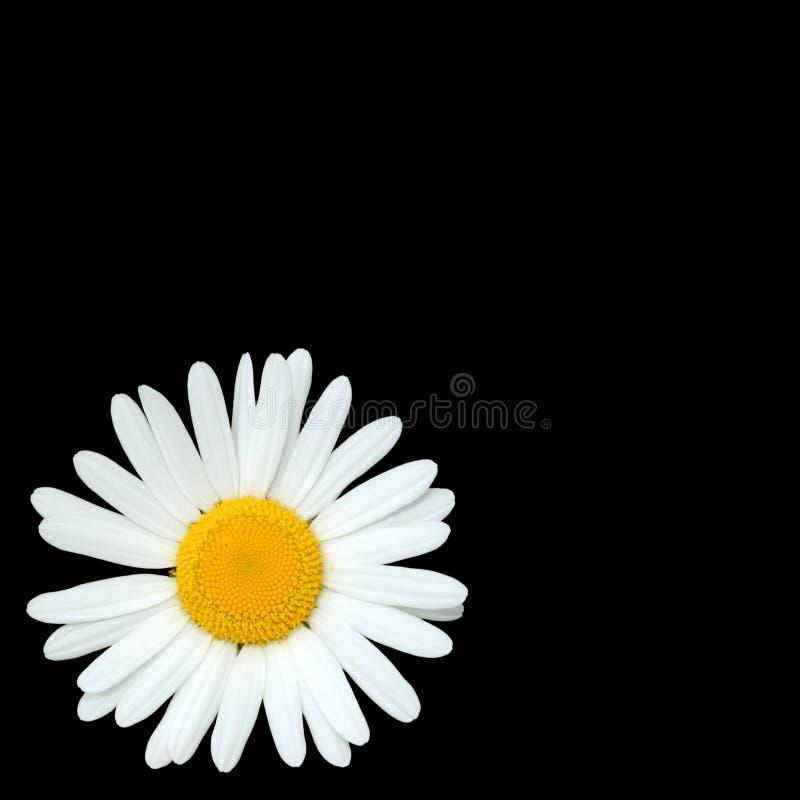 цветок маргаритки красотки стоковое изображение