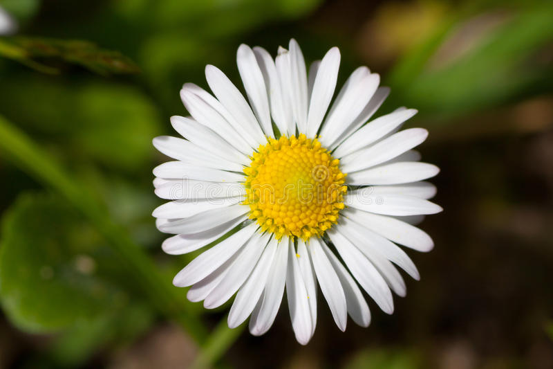 Цветок маргаритки стоковые изображения