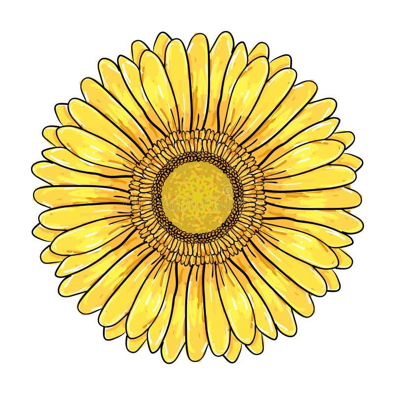 Цветок маргаритки Gerbera, красочная желтая голова изолированная на белой предпосылке, флористической иллюстрации Ручка и чернила иллюстрация штока