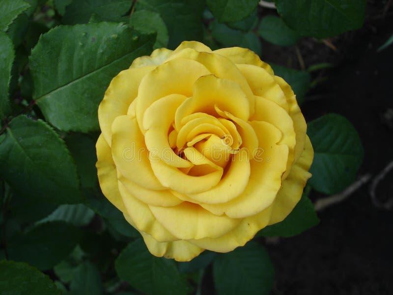 Цветок ` медальона гибридного ` Розы чая золотой стоковое изображение
