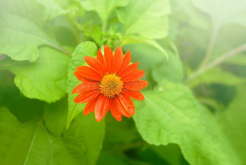 Цветок мексиканского солнцецвета золотой Incas стоковая фотография rf