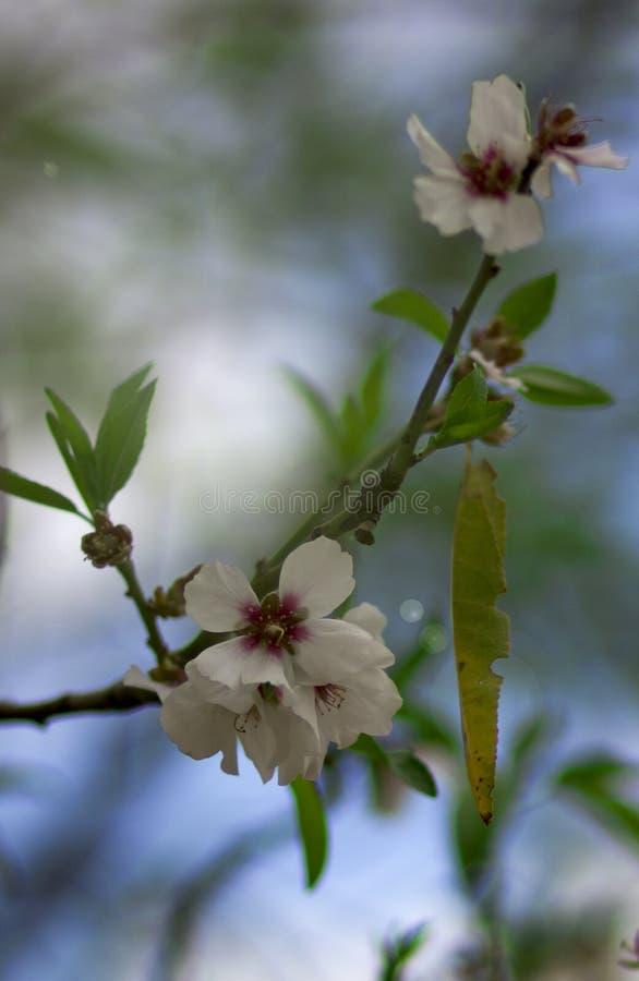 Цветок миндалины весны стоковая фотография