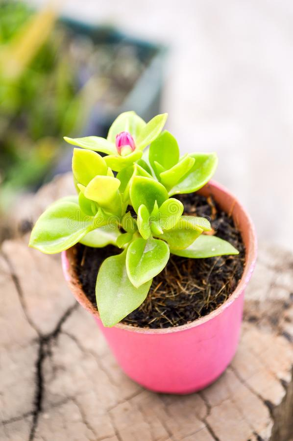 Цветок младенца розовый или цветок cordifolia aptenia в розовом пластичном баке стоковое изображение rf