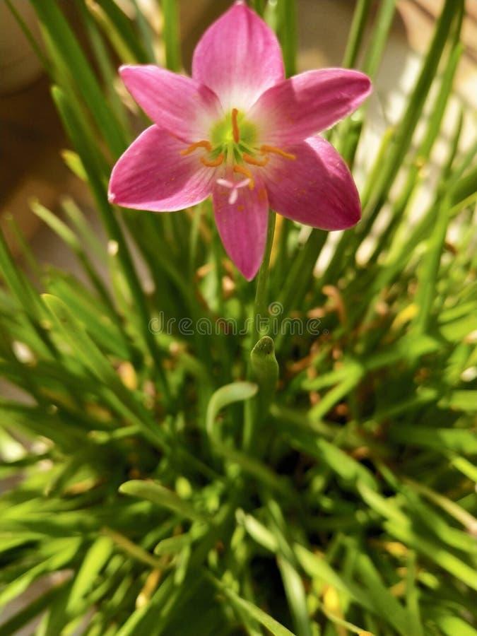 Цветок муссона лилии стоковое фото rf