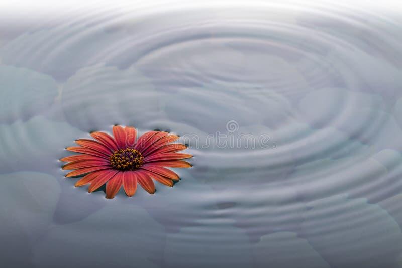 Цветок на воде над камнями с пульсациями стоковые фото