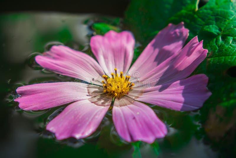 Цветок на воде стоковые фотографии rf