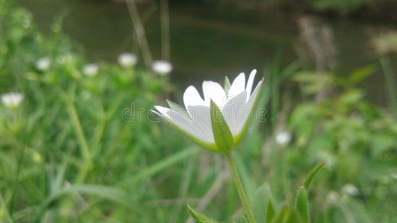 Цветок на реке стоковое изображение rf