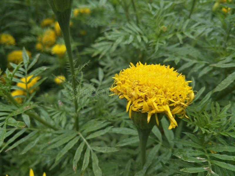 Цветок ноготк желтый стоковые изображения rf