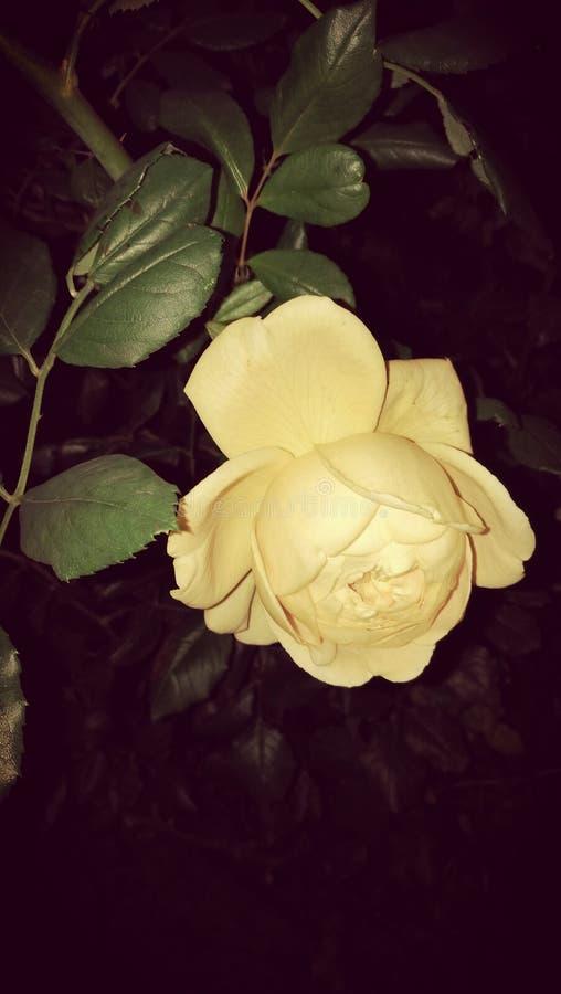 Цветок ночи стоковые изображения rf