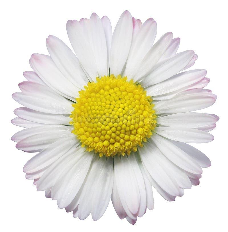 цветок общей маргаритки стоковые изображения rf