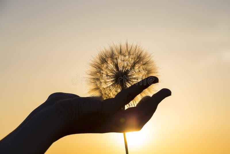 Цветок одуванчика в женской руке на предпосылке захода солнца стоковая фотография