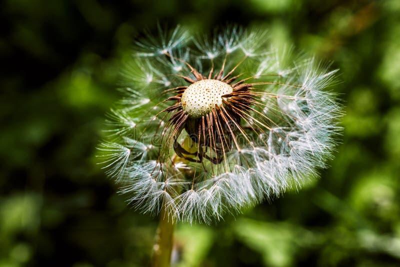 Цветок одуванчика макроса в парке на лете стоковая фотография rf