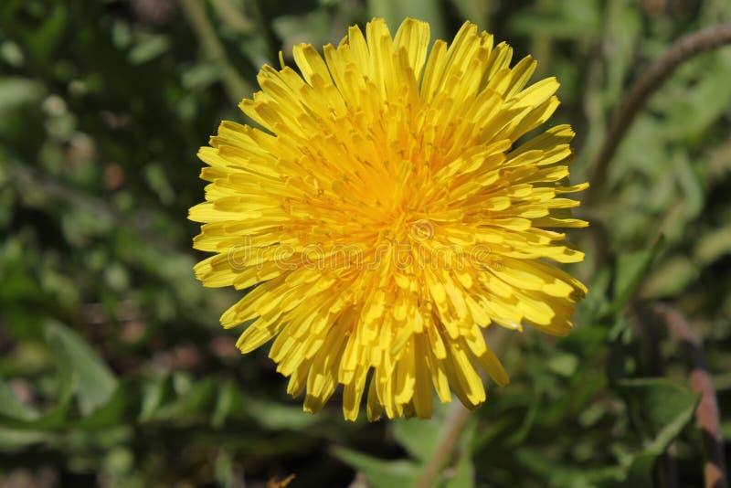 Цветок одуванчика на траве 30648 стоковые изображения