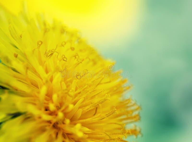 Цветок одуванчика солнечности желтый душистый крупный план нектара стоковые изображения