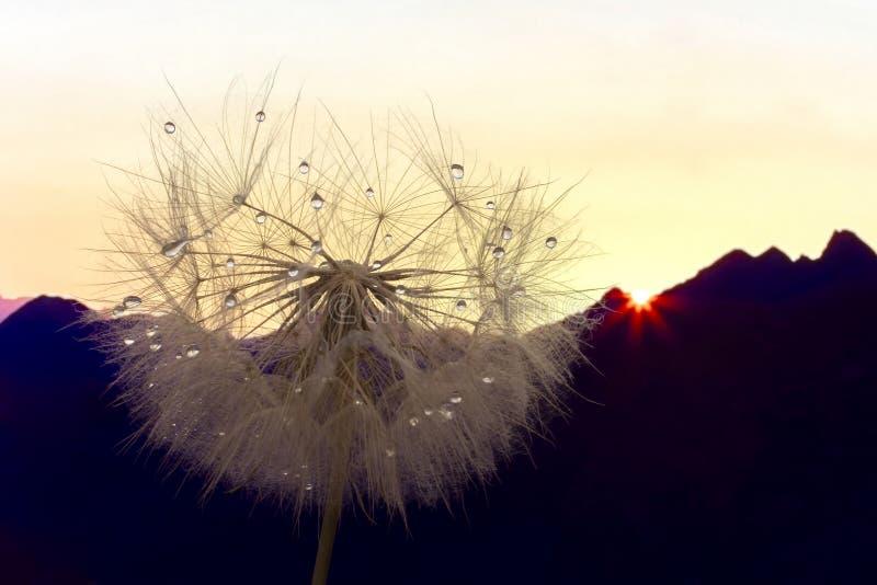 Цветок одуванчика с падениями воды против фона рассвета в гористых местностях стоковая фотография rf