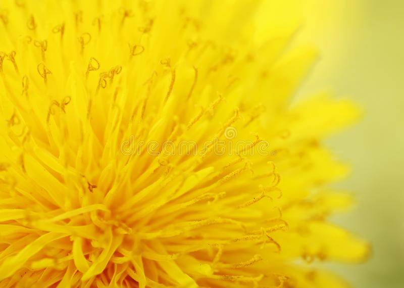 Цветок одуванчика яркого света желтый душистый конец нектара стоковое изображение