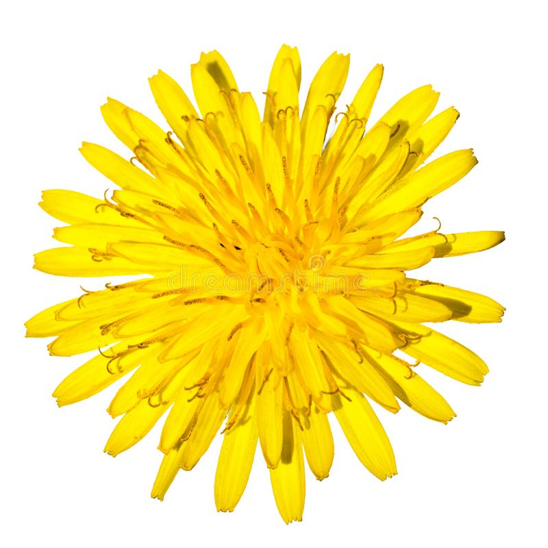 Цветок одуванчика стоковые изображения rf