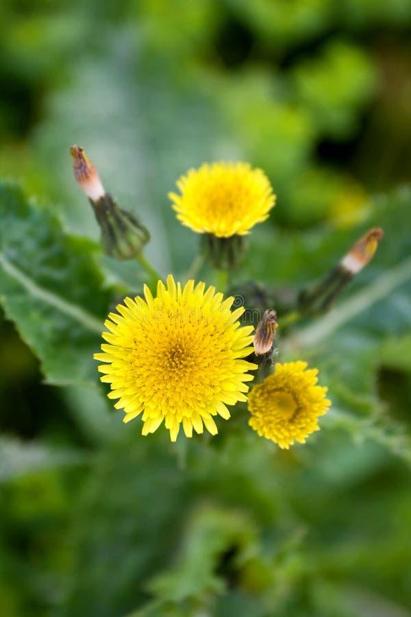 цветок одуванчика стоковые изображения