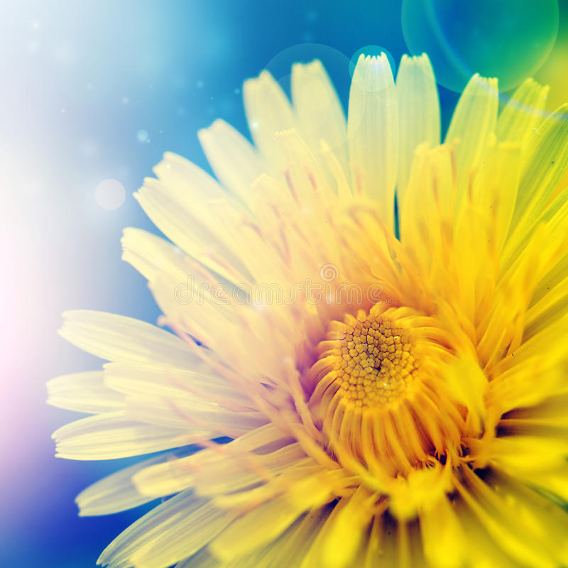 цветок одуванчика стоковые фотографии rf