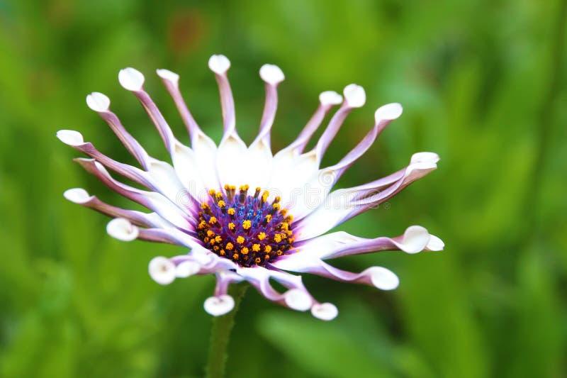 Цветок ложки Osteospermum белый стоковые изображения rf