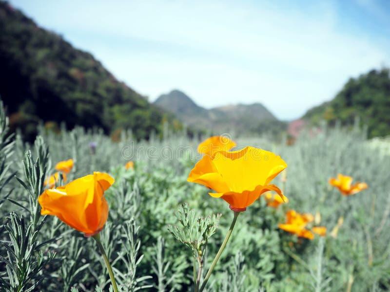 Цветок опиума стоковое изображение rf