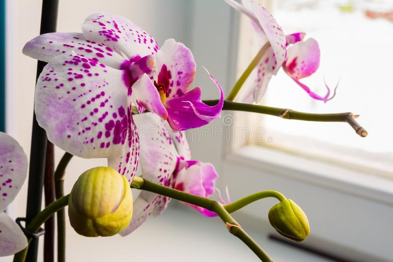 Цветок орхидеи белого розового dendrobium фаленопсиса или сумеречницы в предпосылке тропического сада зимы или весеннего дня флор стоковое фото rf
