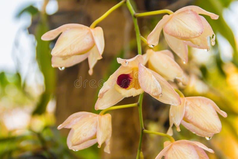 Цветок орхидеи красивого желтого очаровательного pulchellum Dendrobium, или Dendrobium на дереве с водой падает Pulchellum Dendro стоковое изображение rf