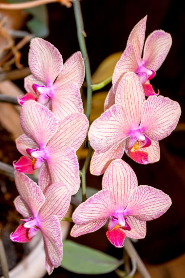 Цветок орхидеи фаленопсиса стоковые фотографии rf
