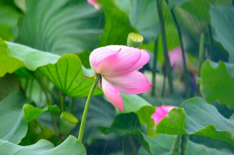 Цветок лотоса в дожде стоковая фотография rf