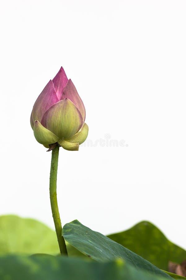 Цветок лотоса в ферме стоковые изображения rf