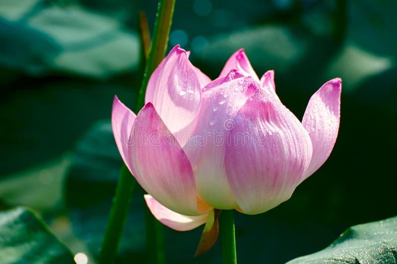 Цветок лотоса и капля росы стоковое фото rf