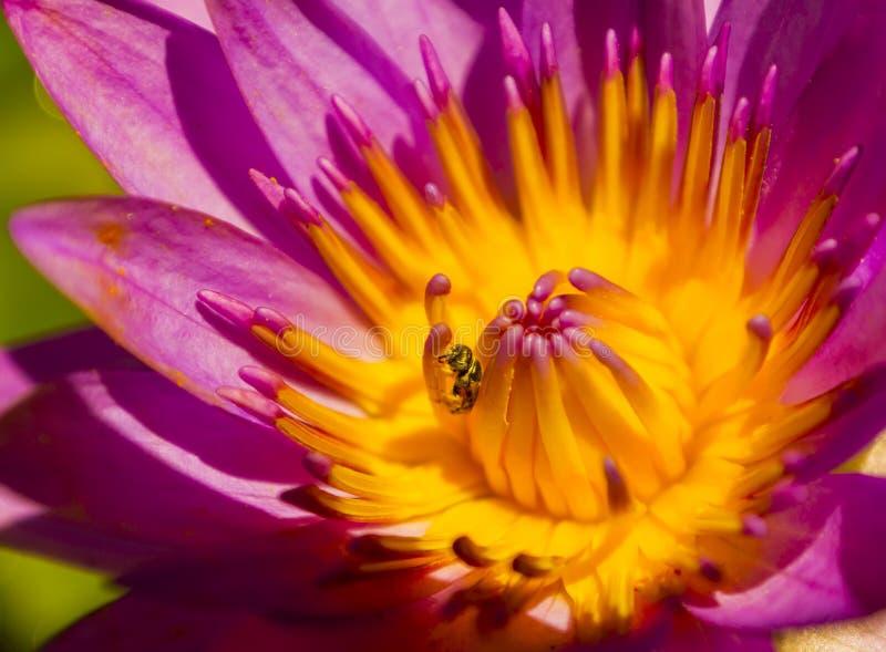 Цветок лотоса крупного плана фиолетовый с пчелой стоковая фотография rf