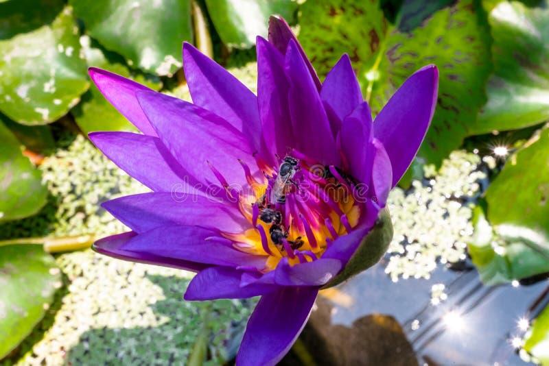 Цветок лотоса крупного плана фиолетовый с пчелой стоковое фото rf
