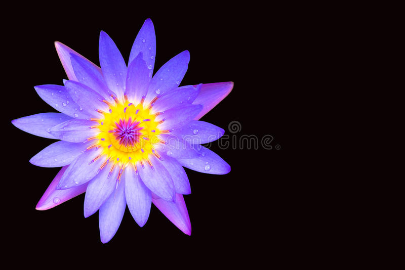 Цветок лотоса на черной предпосылке стоковое фото