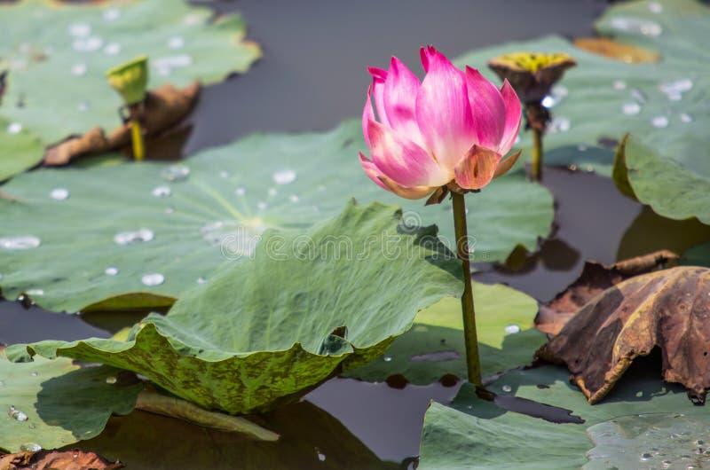 Цветок лотоса IV стоковое фото rf