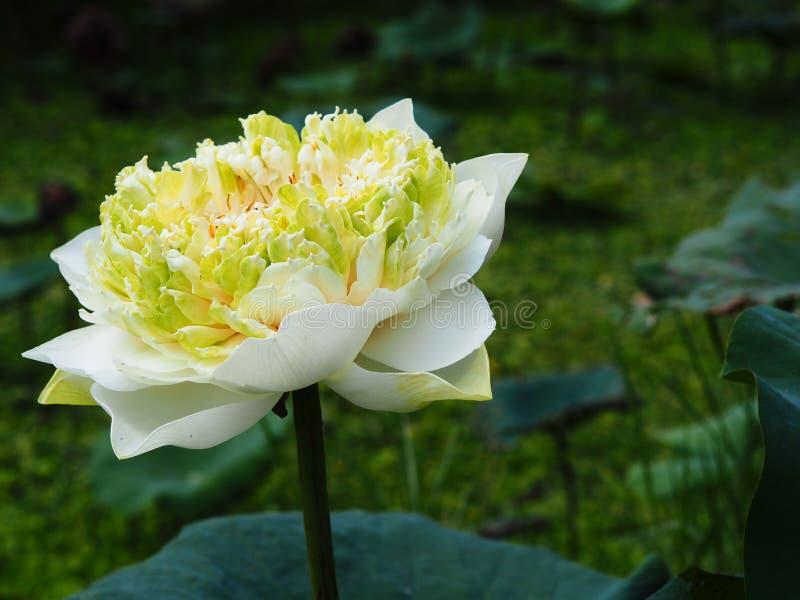 Цветок лотоса, Nelumbo, известный лотосом номера, или завод i стоковая фотография rf