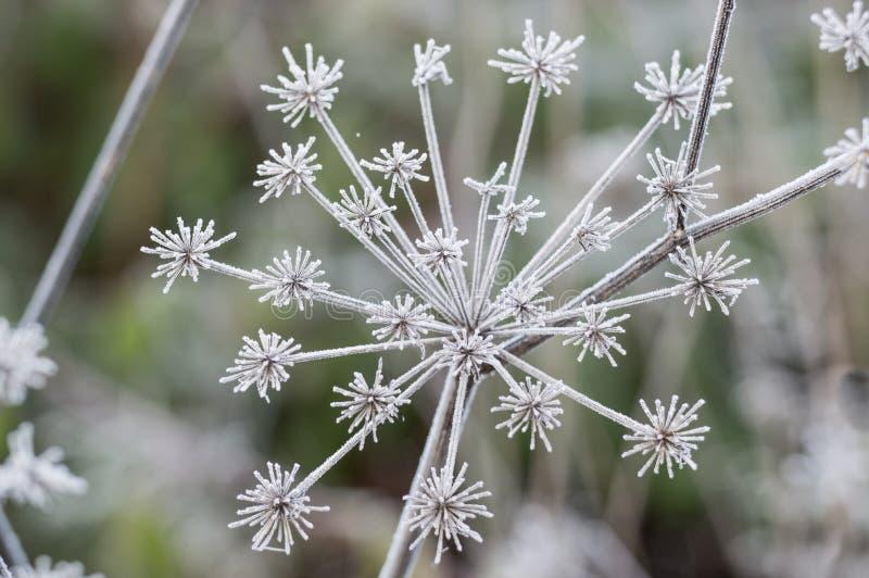 Цветок одичалой моркови в глубоком заморозке зимы стоковые изображения rf