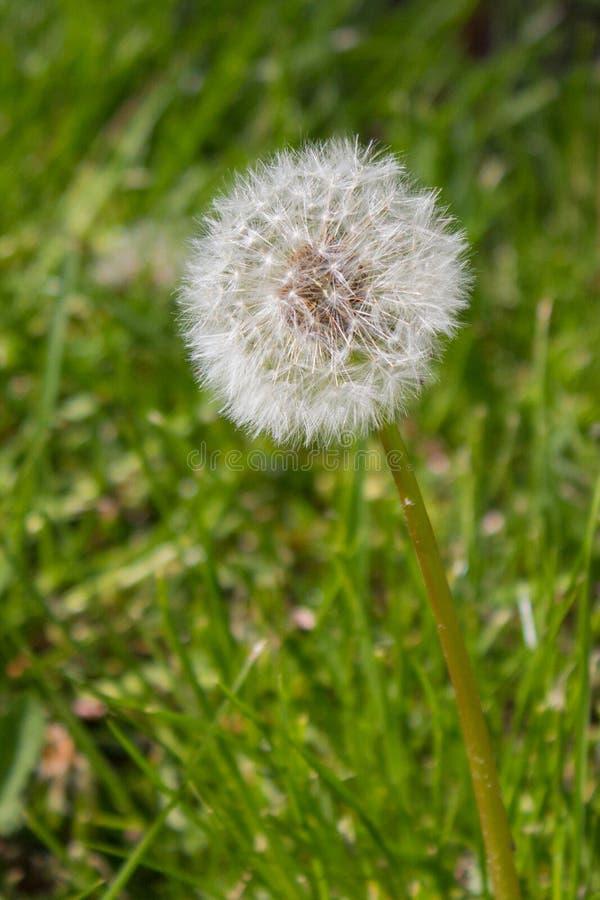 Цветок одуванчика в парке стоковое изображение rf