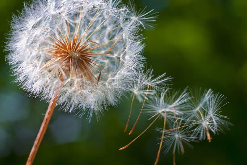 Download Цветок одуванчика. Конец-вверх Стоковое Фото - изображение насчитывающей wildflower, завод: 33738510
