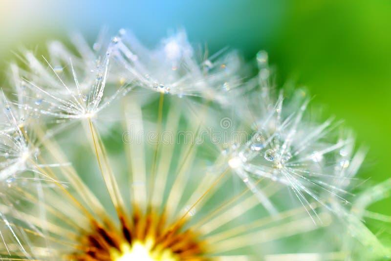 Цветок одуванчика. макрос стоковое фото rf