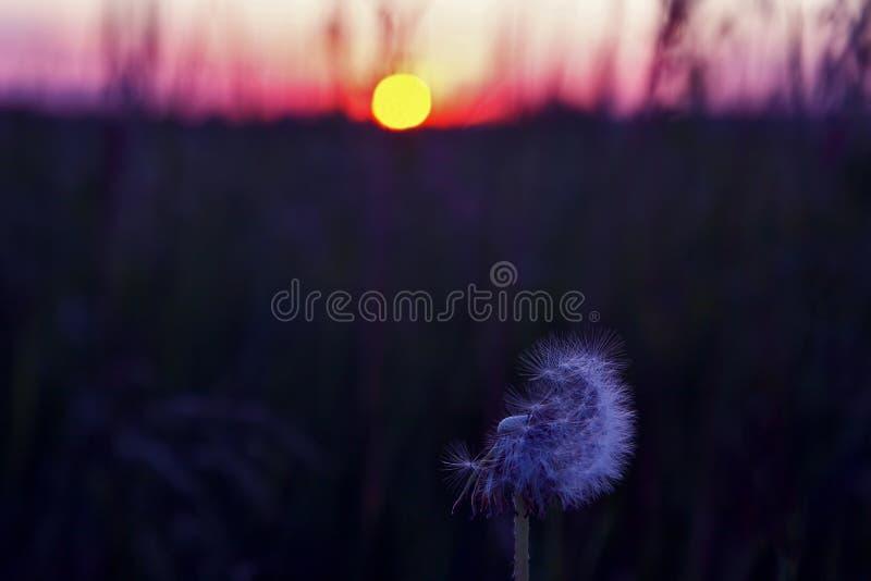 Цветок одуванчика против заходящего солнца стоковая фотография rf