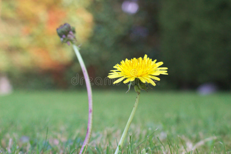 Цветок одуванчика стоковое изображение rf