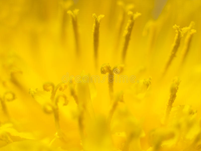 Цветок одуванчика стоковое фото