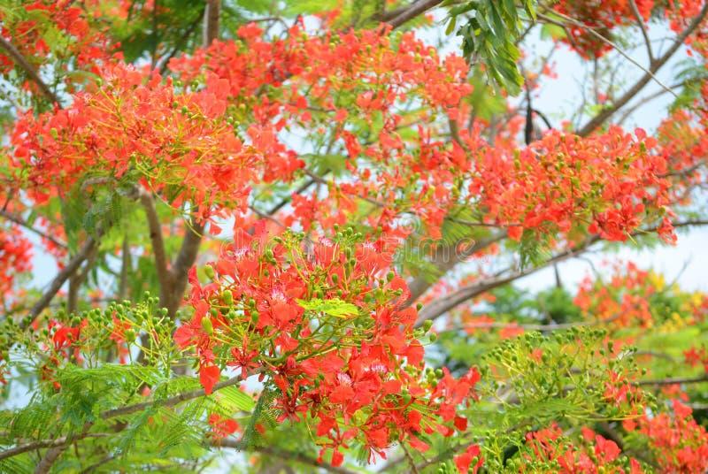 Download Цветок павлина стоковое изображение. изображение насчитывающей цветок - 40588683