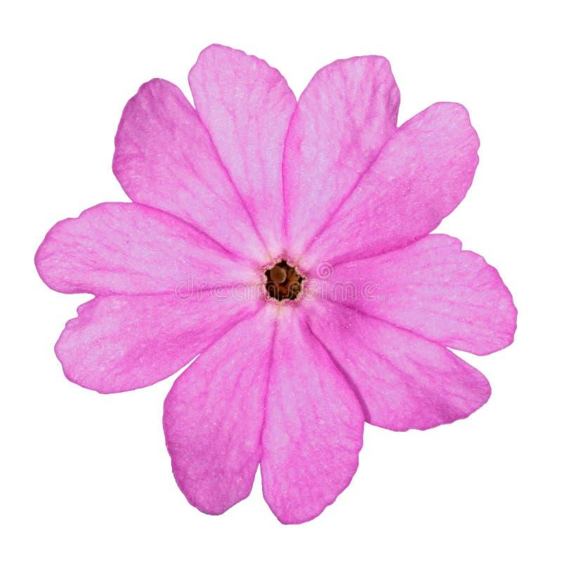 Цветок первоцвета стоковая фотография rf