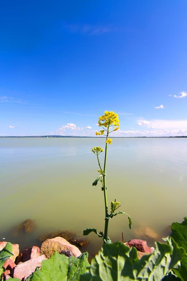 Цветок перед озером Balaton стоковые изображения rf