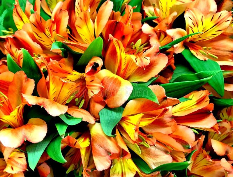 Цветок, перуанская лилия, оранжевый и желтый стоковые фотографии rf