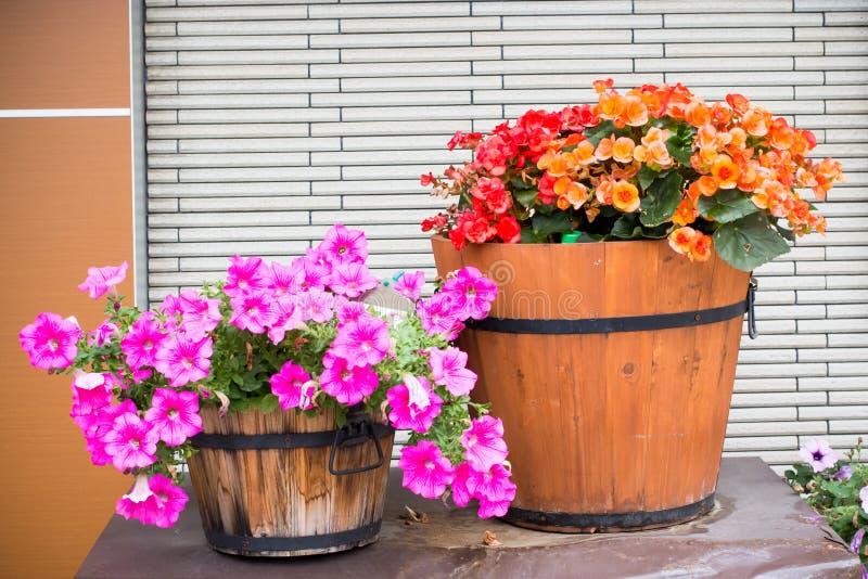 Цветок петуньи в деревянном баке стоковая фотография rf